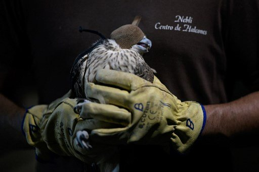 Spain exporter falcons to Arab world